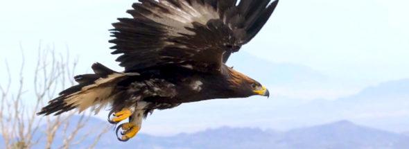 Episode 10 - Golden Eagle Tracking & Gold Level Mountain Biking Town